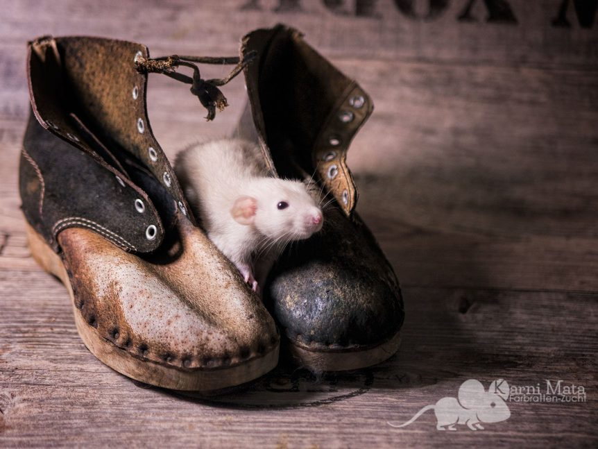Farbratte Pyrdacor, Beige Berkshire Dumbo Dwarf