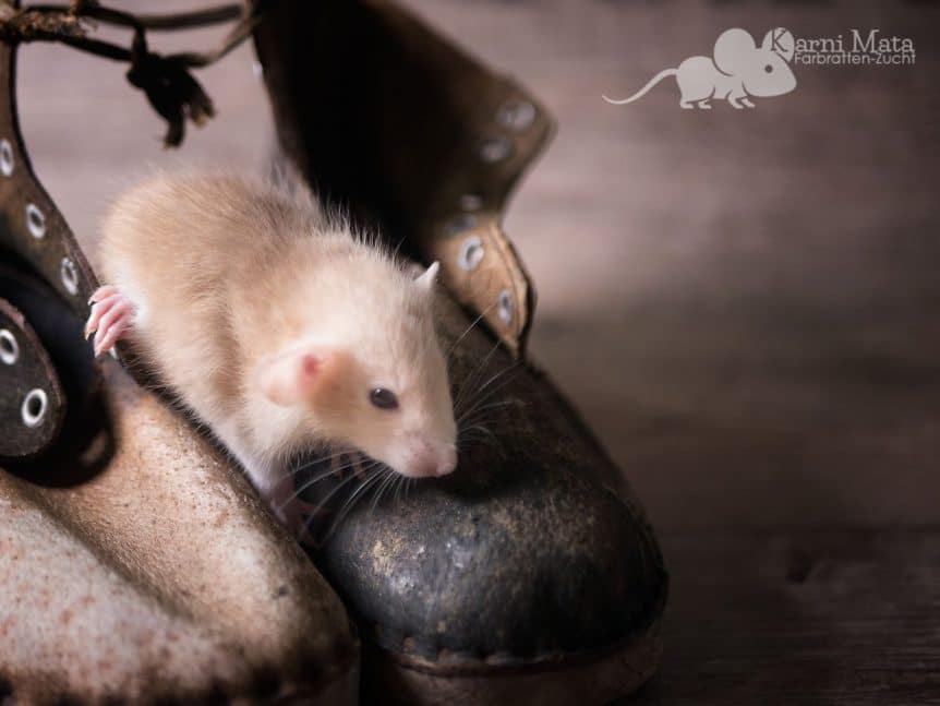 Farbratte Quill. (Russian?) Topaz Berkshire headspot Dumbo het. Dwarf