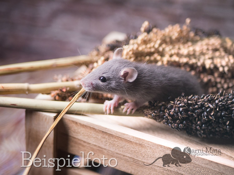 Beispielfoto Russian Blue Top Ear Rattenbaby, Self (vollständig gefärbt) und Irish (weißer Fleck unter Bauch oder Brust)