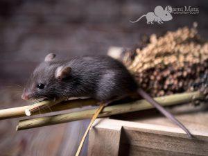 Rattenbaby Black Self Top Ear