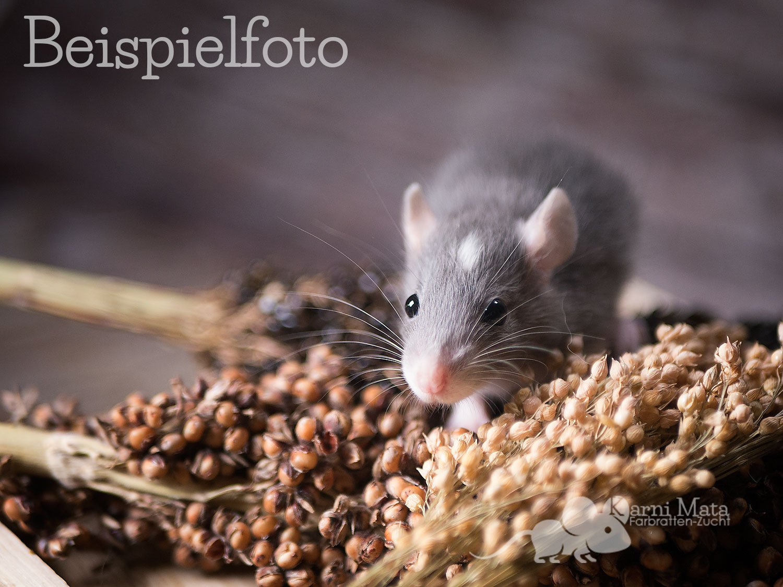 Beispielfoto Rattenbaby Russian Blue Headspot Berkshire Top Ear