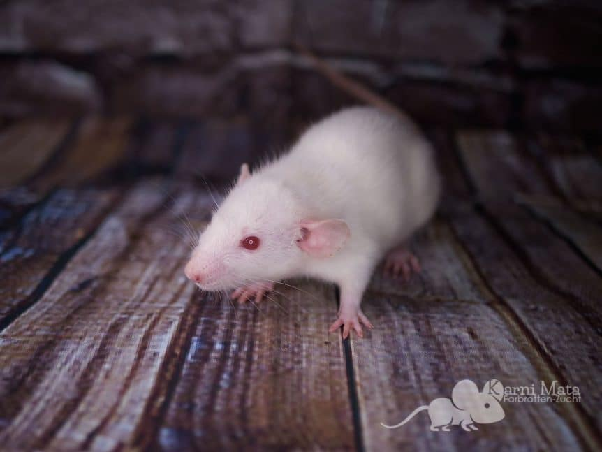 Color rat Wendy, Red Eye White