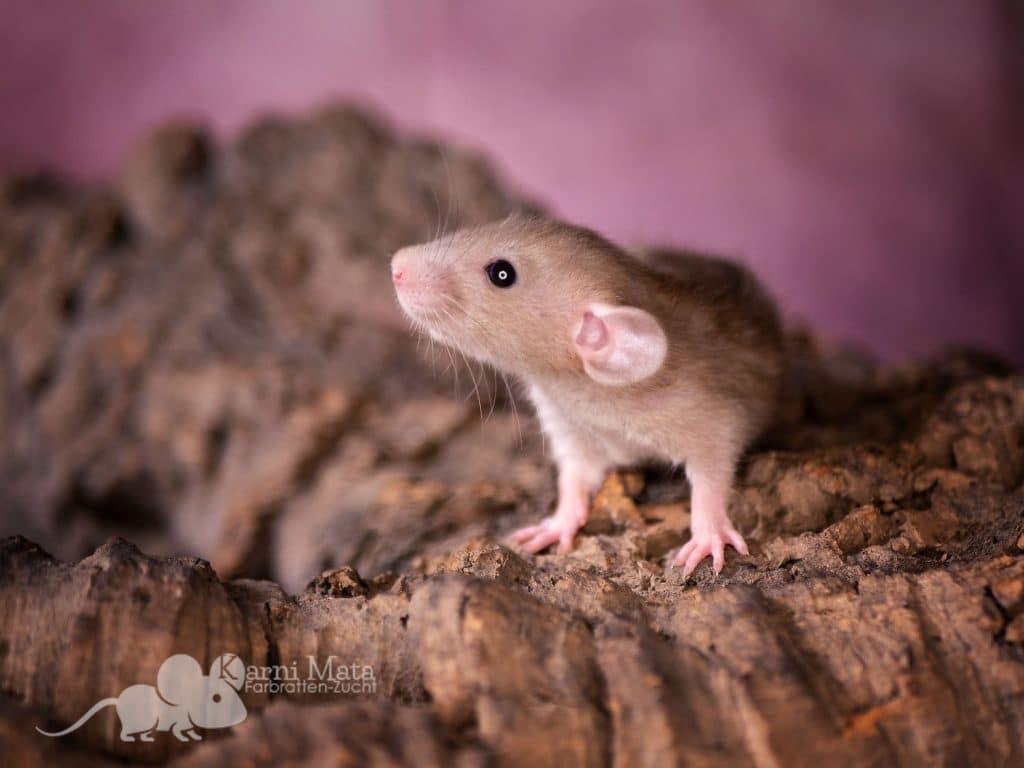 Erebor (m.), Farbratte vermutlich Wheaten Burmese Dumbo het. Dwarf