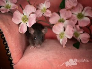 Hanami, Farbratte Black Self Top Ear het. Dwarf