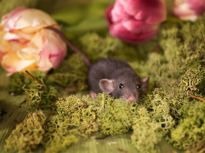 Jesse Pinkman, color rat / Fancyrat, Black American Irish / Berkshire Dumbo Dwarf