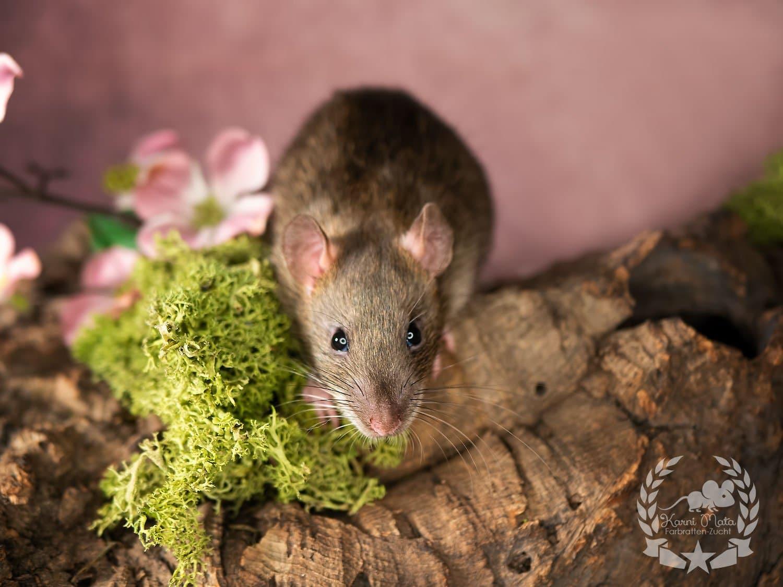 Minidimi, color rat (Fancyrat) Agouti Self