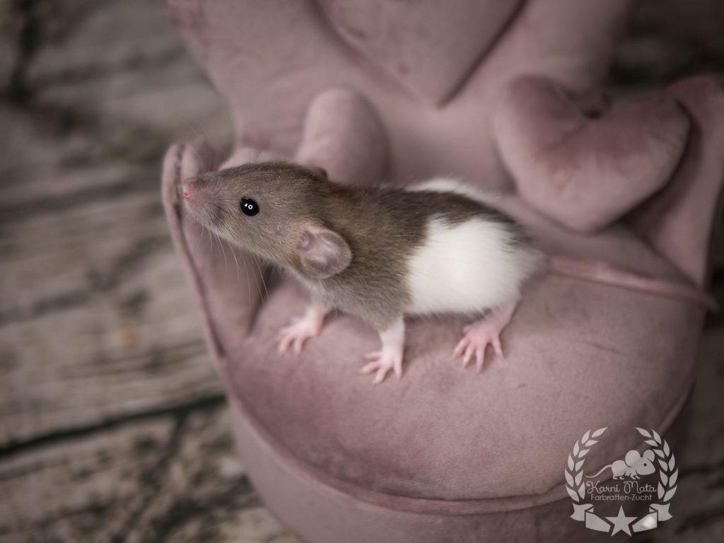 Penelope, Farbratte (Fancyrat), Agouti Mismarked Dumbo het. Dwarf