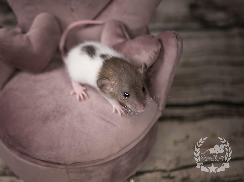 Peregrin, color rat (Fancyrat), Agouti Hooded Mismarked oder Variegated Dumbo Dwarf