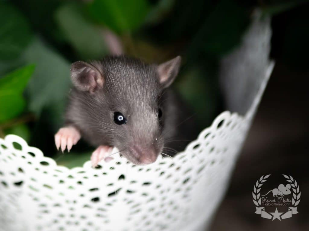 Quiana, Farbratte (Fancyrat), Black Silvermane American Irish