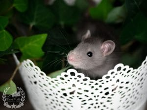 Quinn, Farbratte (Fancyrat) Russian Blue English Irish