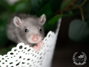 Quinto, Farbratte (Fancyrat) Russian Blue Silvermane Harley Self