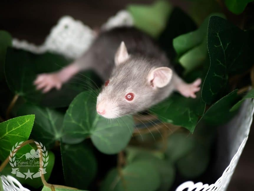Raika, Farbratte (Fancyrat) Red Eyed Pointed Devil