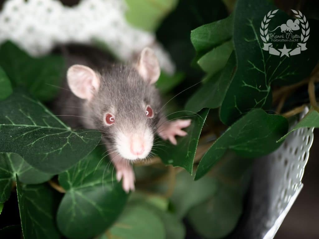 Ranadalin, Farbratte (Fancyrat) Red Eyed Pointed Devil