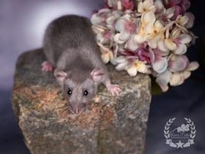 Cosmopolitan, Farbratte / Fancyrat Chocolate Silvermane Self Dumbo