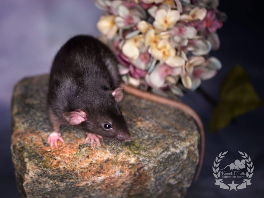 Daiquiri, Farbratte / Fancyrat Black oder Chocolate America Irirsh Dumbo