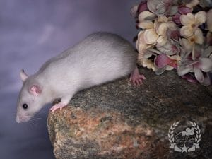 Milky Way, Farbratte/Fancyrat Russian Blue Silvermane Self Top Ear
