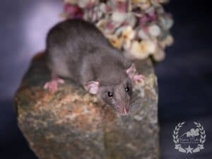 Mojito, Farbratte / Fancyrat Chocolate American English Irish Silvermane