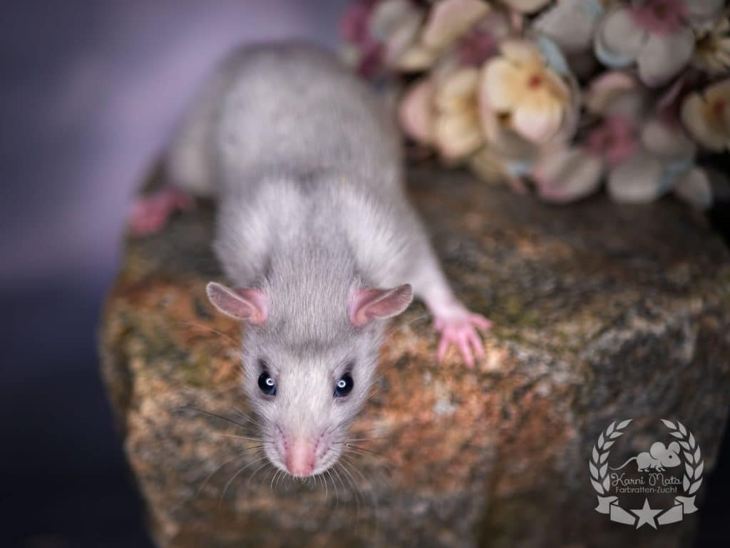Smarties, Farbratte/Fancyrat Russian Blue Silvermane Self Top Ear