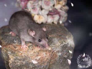 Snickers, Farbratte / Fancyrat Chocolate Silvermane