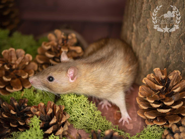 Marika, color rat (Fancyrat) Cinnamon