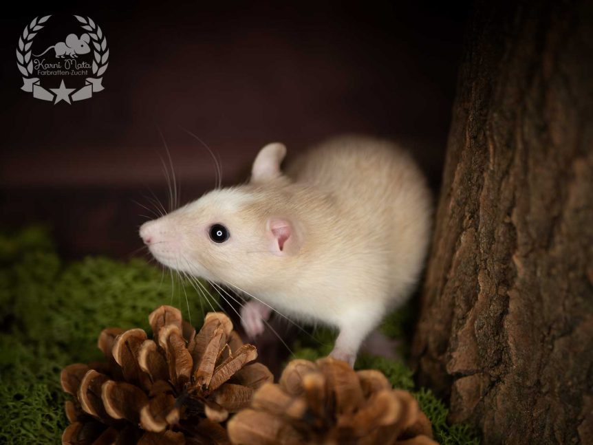 Maris, color rat (Fancyrat) Pearl Essex