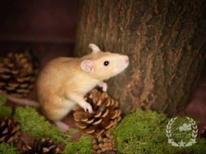 Reneta, color rat (Fancyrat) Topaz