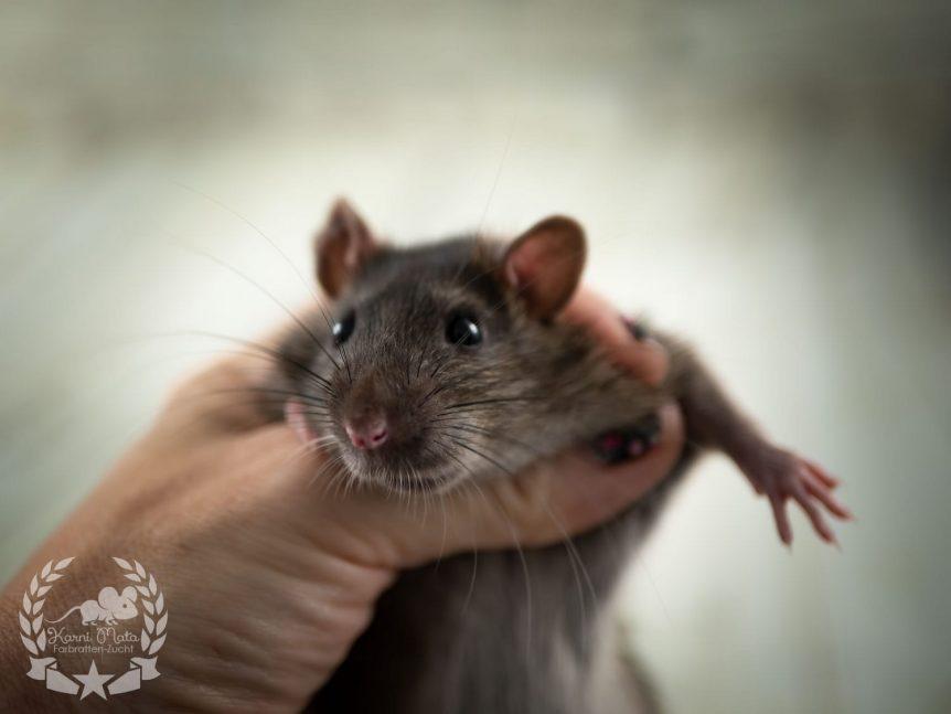 Royal Rat's Tomoko, Farbratte / Fancyrat Agouti Self, F2-wild-foundation