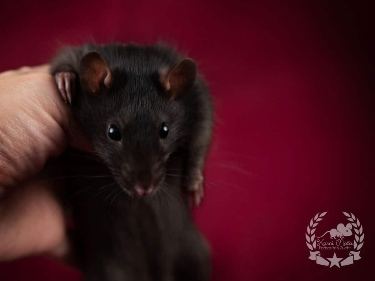 Royal Rat's Tomte, Farbratte / Fancyrat Black Self