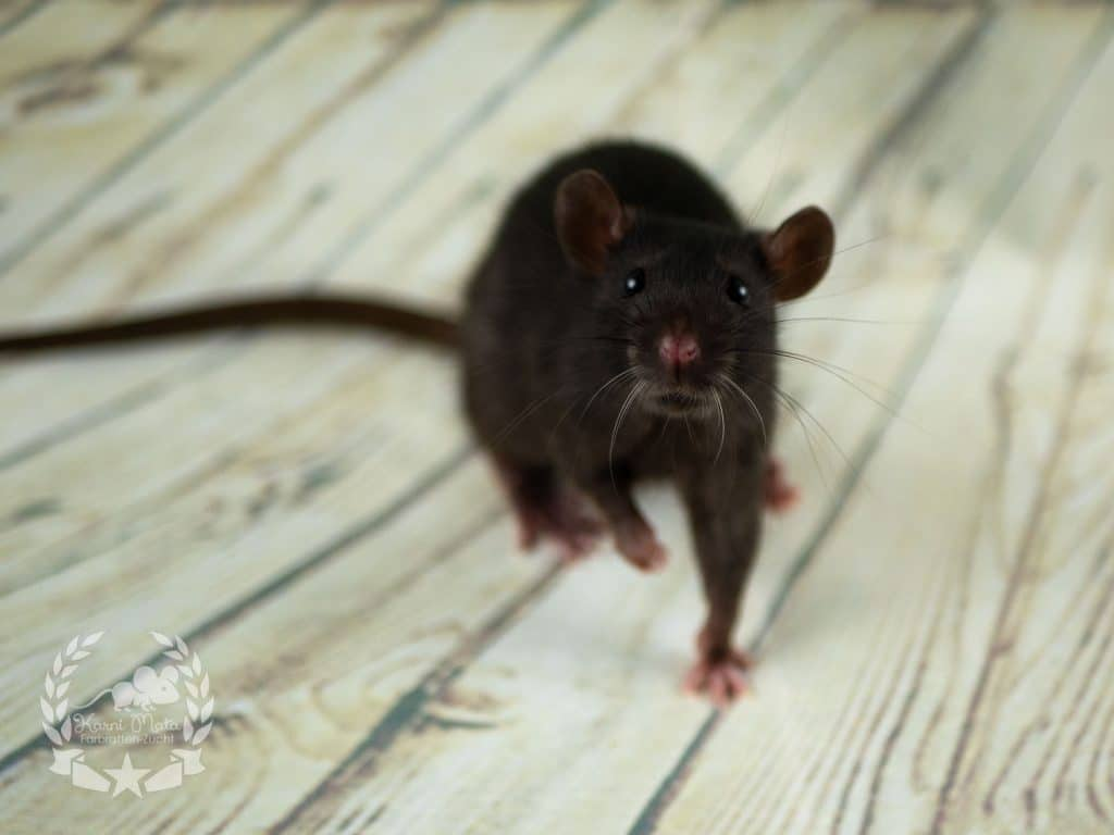Royal Rat's Tommelena, Farbratte / Fancyrat Black Self