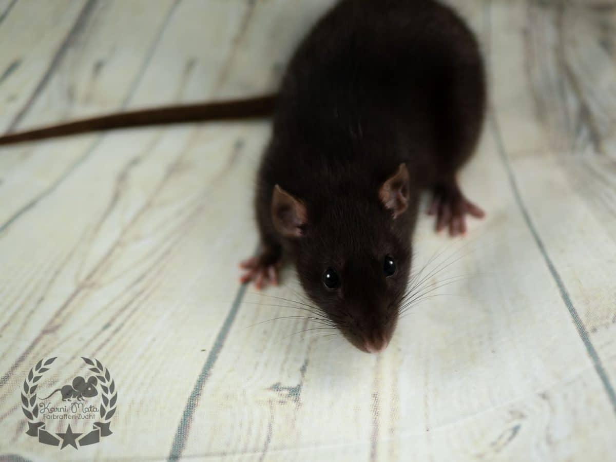 Royal Rat's Tomoyo, Black Self Dumbo