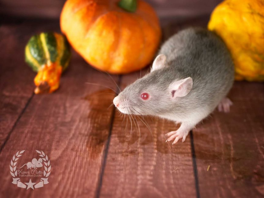 Pamela Voorhees (w./f.), Farbratte / Fancyrat Red Eyed Agouti Devil / Marten Self