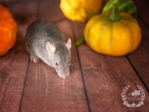 Anabelle (w./f.), color rat / Fancyrat Red Eyed Agouti Devil / Marten Self