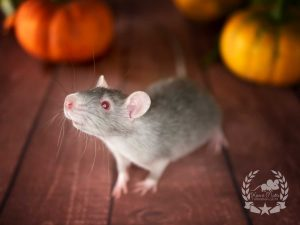 Samara Morgan (w./f.), color rat / Fancyrat Red Eyed Agouti Devil / Marten Self