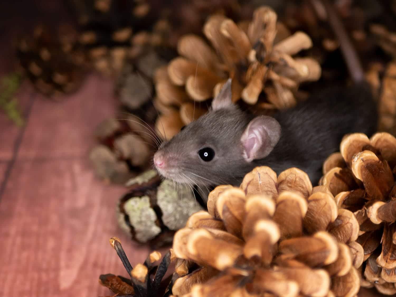 Adrahil, color rat (Fancyrat) Black pos. Silvermane pos. Dwarf