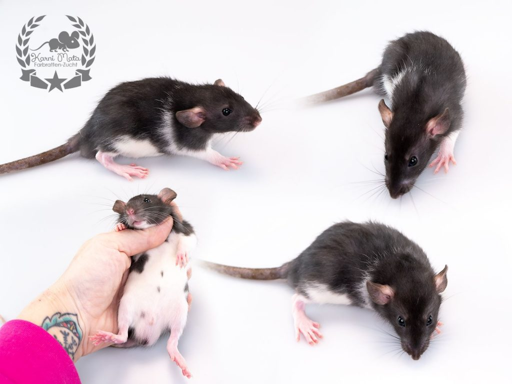 Karni Mata's O COME LITTLE CHILDREN (m.), color rat / Fancyrat, Black Variberk