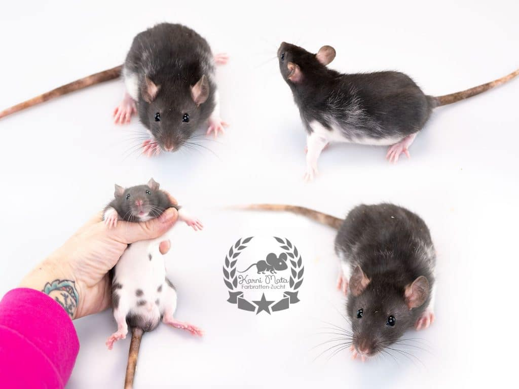 Karni Mata's Rudolph the red nosed reindeer (m.), color rat / Fancyrat, Black Variberk