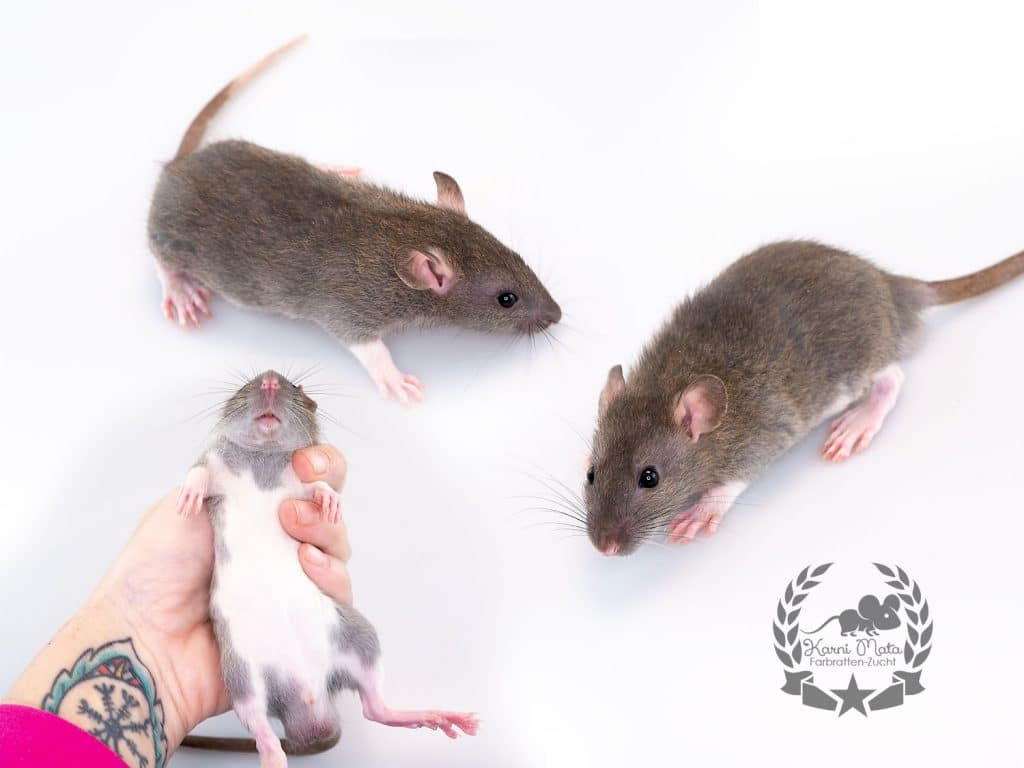 Karni Mata's Away in a Manger (m.), color rat / Fancyrat, Agouti Berkshire
