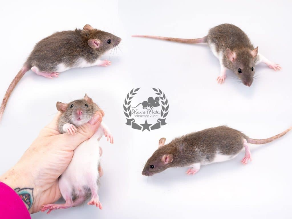 Karni Mata's Carol of the Bells, color rat / Fancyrat Agouti Variberk