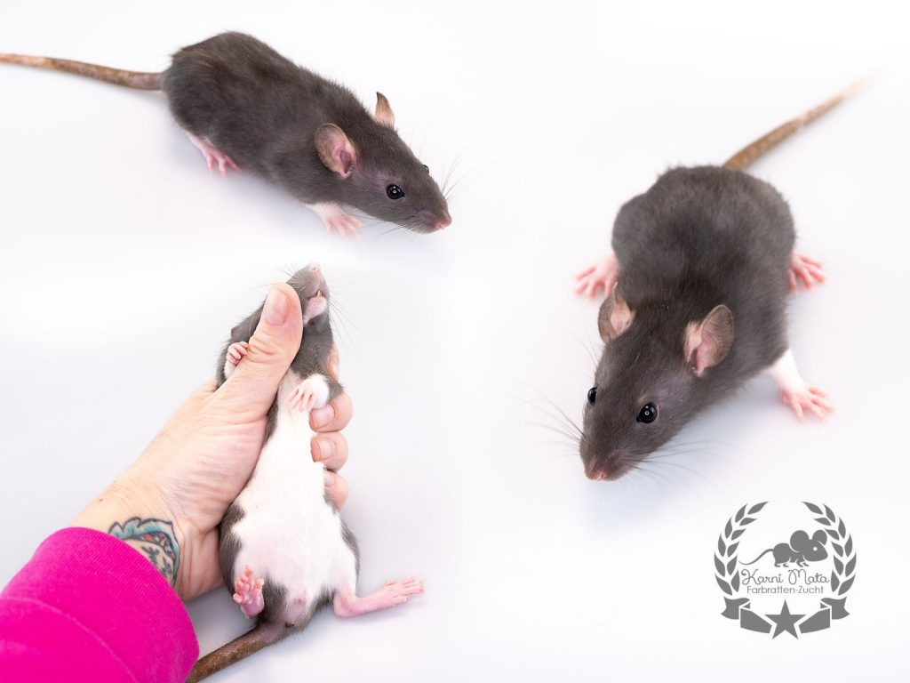 Karni Mata's The first Noel (f./w.), color rat / Fancyrat, Black Berkshire