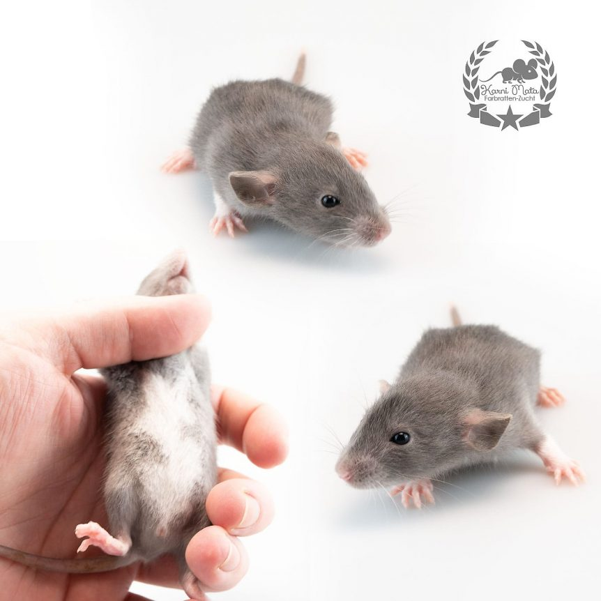 Filavandrel, Farbratte / Fancyrat Russian Blue Berkshire Dumbo