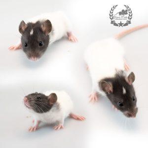 Istredd, color rat / Fancyrat Black Capped Headspot