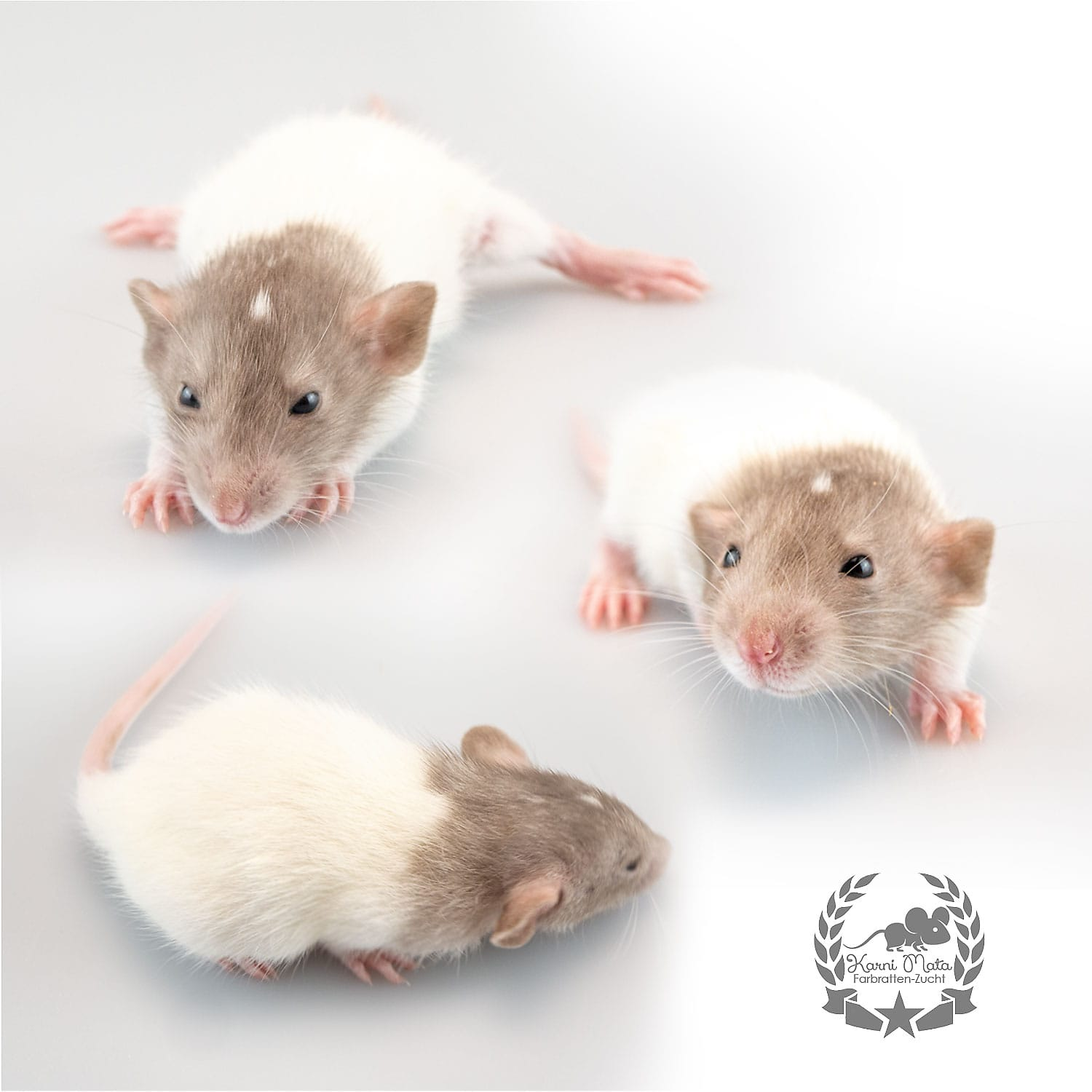 Jaskier, color rat / Fancyrat, Mink oder Dark Pearl Bareback Headspot