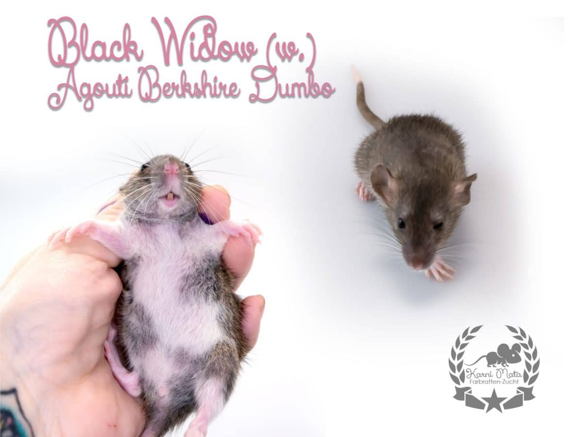 Black Widow (w.), Farbratte/Fancyrat, Agouti/Berkshire Dumbo