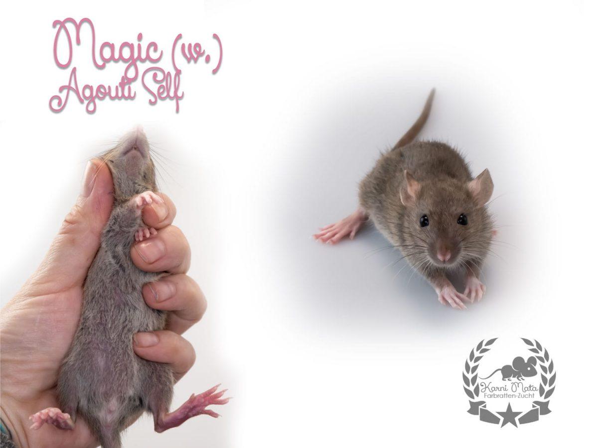 Magic (w.), Farbratte/Fancyra, Agouti Self
