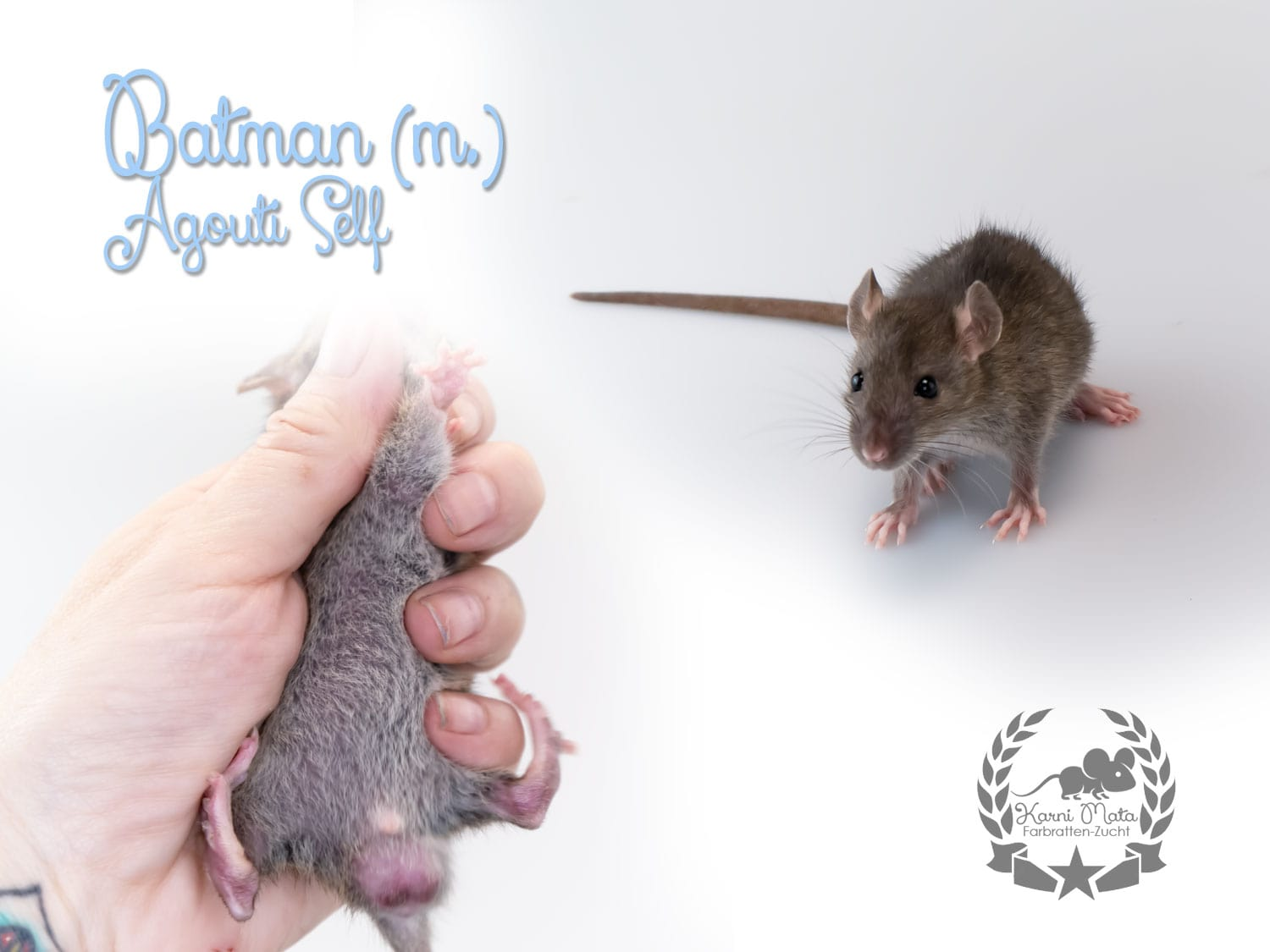 Batman (m.) Farbratte/Fancyrat Agouti Self