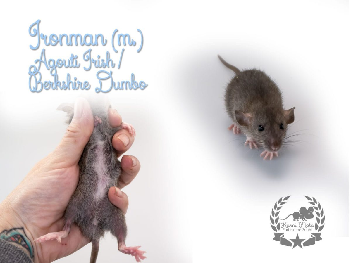 Ironman (m.), Farbratte/Fancyrat, Agouti Berkshire/Irish Dumbo