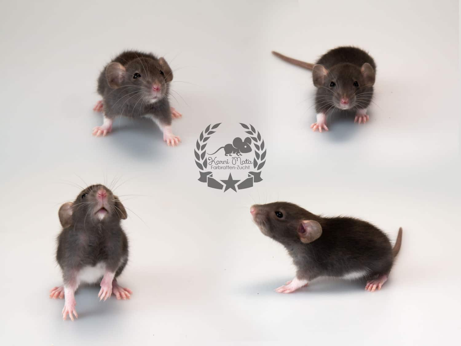 The Oracle Farbratte/Fancyrat, Black Berskhire Dumbo Dwarf