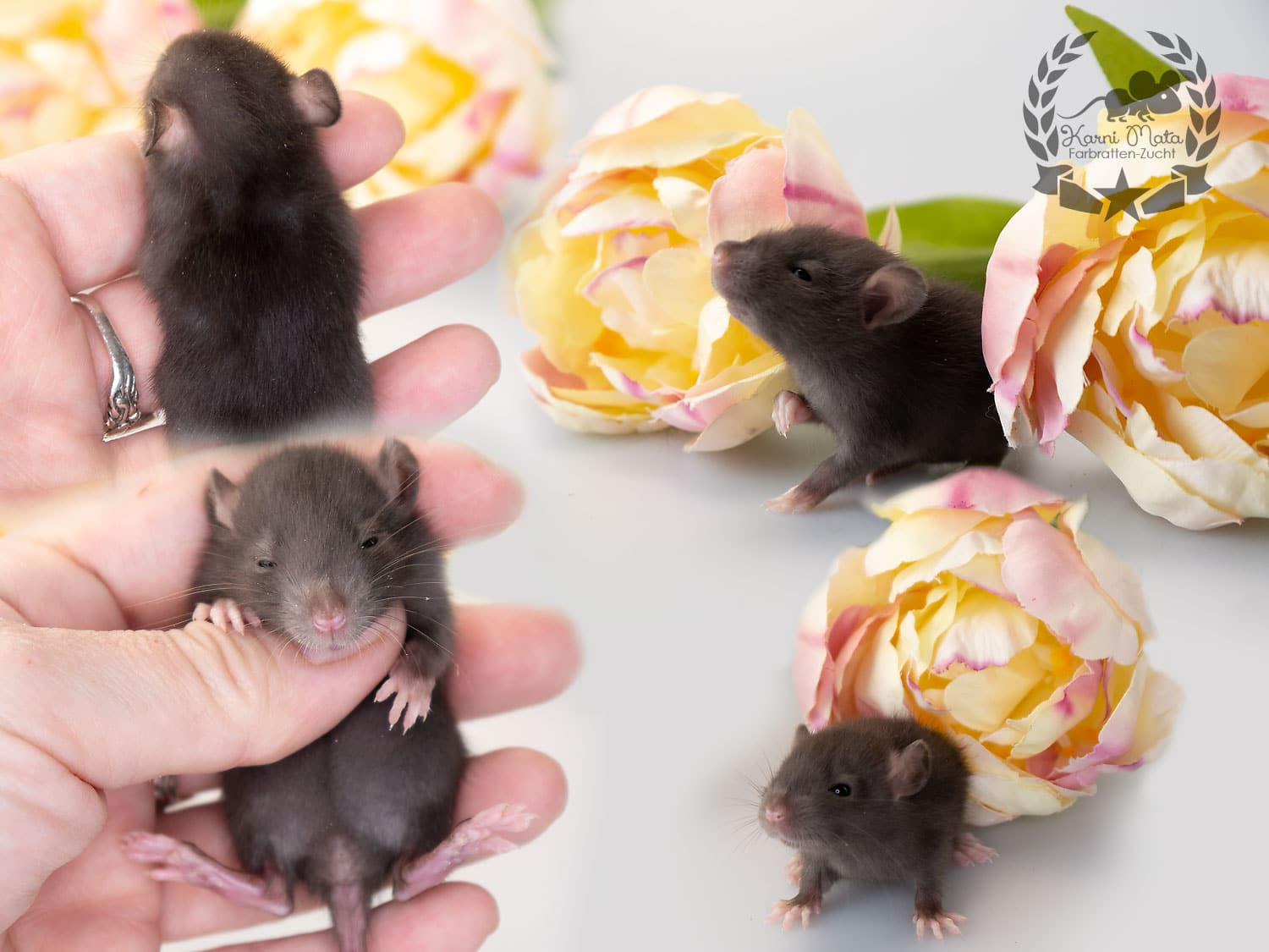 Cessair (w./f.), Farbratte / Fancyrat, Chocolate Self