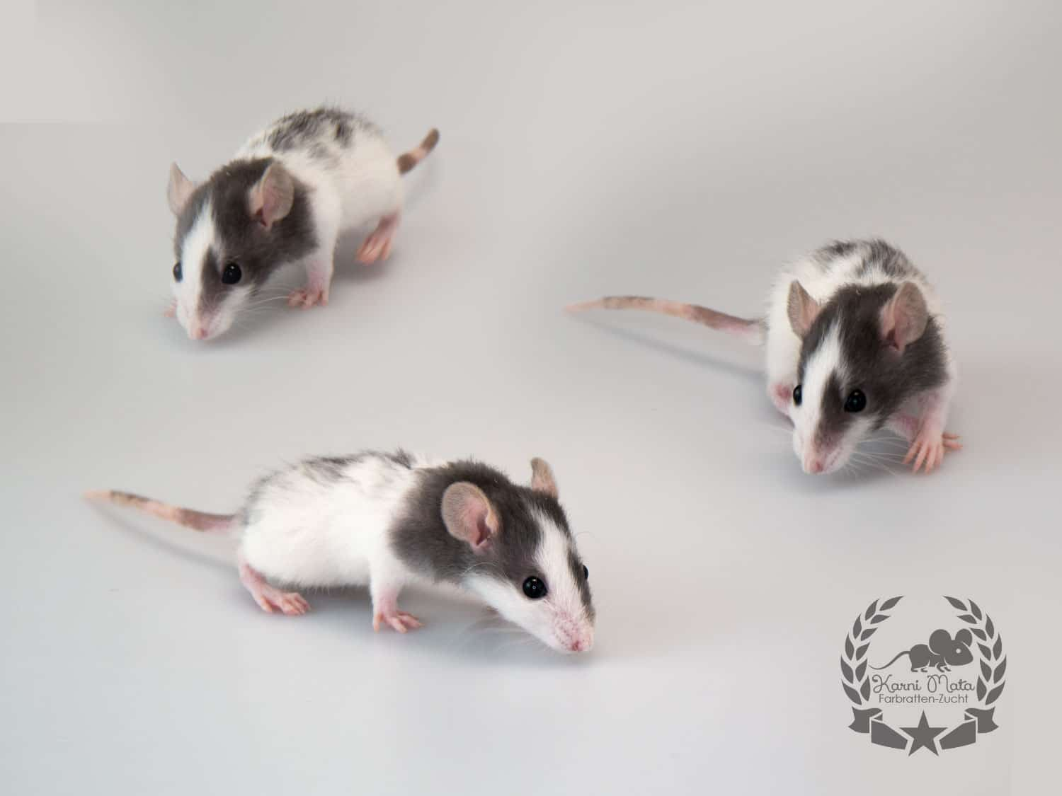 Neo Farbratte / Fancyrat, Black Variegated Blazed Dwarf