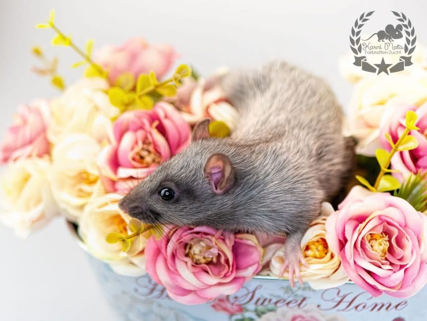 Mordred Farbratte Fancyrat Black Silvermane Self